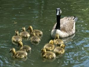 canada-goose_family