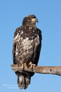 Juvenile bald eagle, second year coloration plumage, immature coloration showing white speckling on feathers.